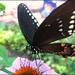 Spicebush Swallowtail by olivetreeann