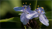 17th Jul 2013 - Spiderwort