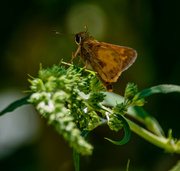 18th Jul 2013 - Skipper Butterfly