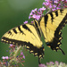 Eastern Tiger Swallowtail by rhoing