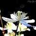 Jasmine by tonygig