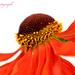 Helenium Flower by tonygig
