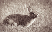 14th Jul 2013 - Soft Bunny - (does look better viewed larger - but most photos do)