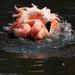 A Pink Flamingo having a Bath by shepherdmanswife