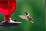 22nd Jul 2013 - Hummingbird Dance