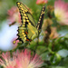 Flight of the Giant Swallowtail by cjwhite
