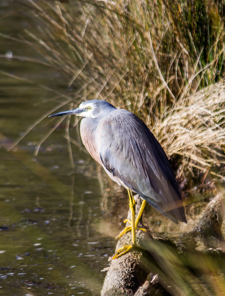 White faced heron by goosemanning
