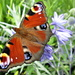 peacock butterfly and agapanthus by quietpurplehaze