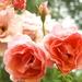 Wet roses - 27-7 by barrowlane