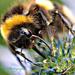 Bee Macro by tonygig