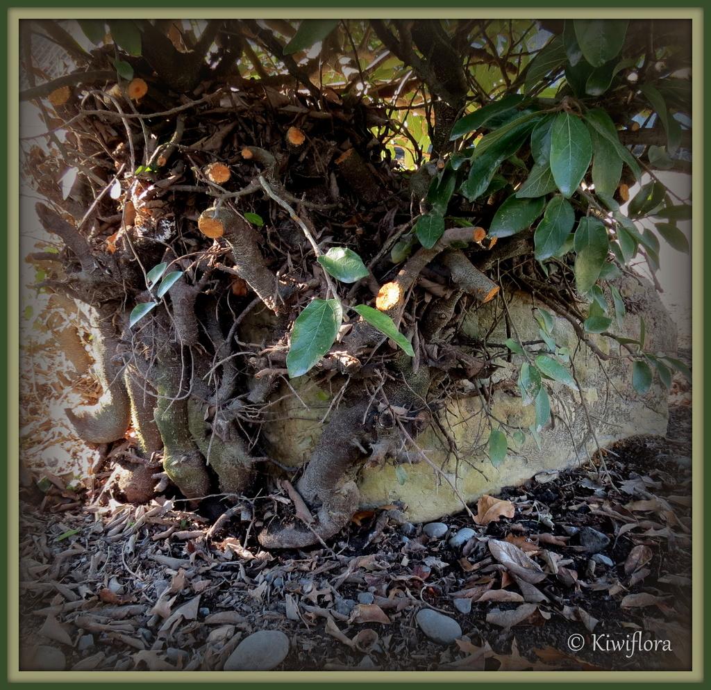 Ficus pumila by kiwiflora
