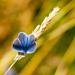 27th July 2013 Little Blue Butterfly by pamknowler