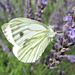 green-veined cabbage white feasting on lavender by quietpurplehaze
