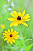 28th Jul 2013 - Wild Flower Black Eyed Susan (SOOC except for watermark)