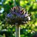 Artichoke by tonygig