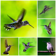 30th Jul 2013 - Dance of the Hummingbirds