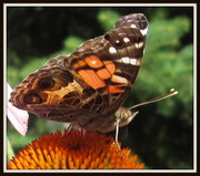 30th Jul 2013 - My first picture of butterfly