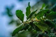 30th Jul 2013 - Day 211 - Oak Leaves 'n' Rain