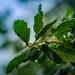 Day 211 - Oak Leaves 'n' Rain by snaggy