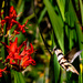 Zebra Striped Hummer by jgpittenger