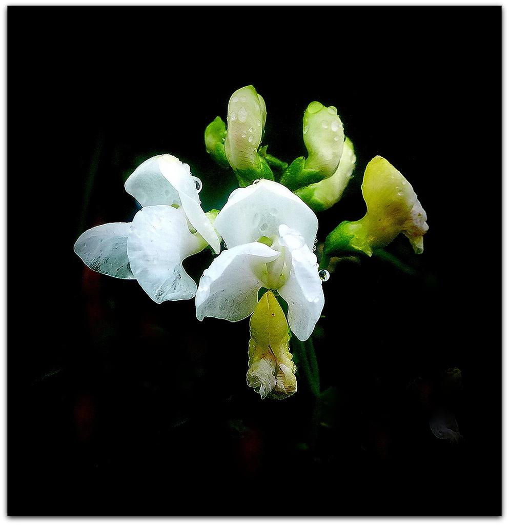 Runner bean flower by judithdeacon