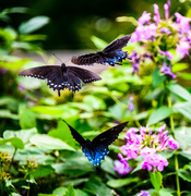 1st Aug 2013 - Flight of the butterflies