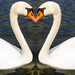 Love Swans by cdonohoue