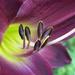 Daylily Mania by sunnygreenwood