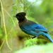 Steller Jay Teenager by nanderson