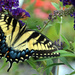 Swallowtail by tracys