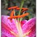 Oriental Trumpet Lily by judithdeacon