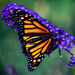Monarch On Purple  by jgpittenger