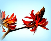 7th Aug 2013 - Flame Tree..