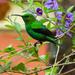 Malachite Sunbird by salza