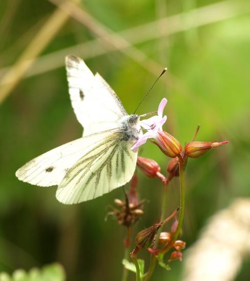 Green-veined white butterfly - 07-8 by barrowlane