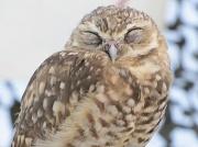 30th Aug 2010 - owl