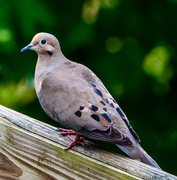 9th Aug 2013 - Dove