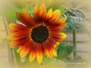 11th Aug 2013 - That Sunflower In Full.
