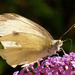 White butterfly by richardcreese