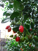 12th Aug 2013 - Moch Orange Berries