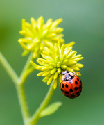 12th Aug 2013 - Ladybug and her flower
