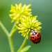 Ladybug and her flower by kathyladley