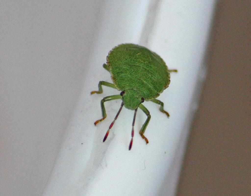 Green Shield Bug (Palomena prasina) -  Viherlude, Grön bärfis IMG_9069 by annelis