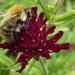 bee on Macedonian scabious  by quietpurplehaze