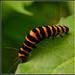 Caterpillar by tonygig