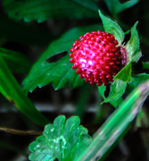 14th Aug 2013 - Wild Strawberry