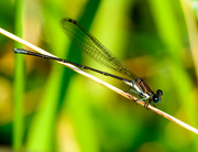 15th Aug 2013 - Good Morning little damselfly!