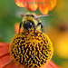 Helenium With Bee by tonygig