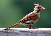 16th Aug 2013 - Baby Cardinal with suet on it's beak
