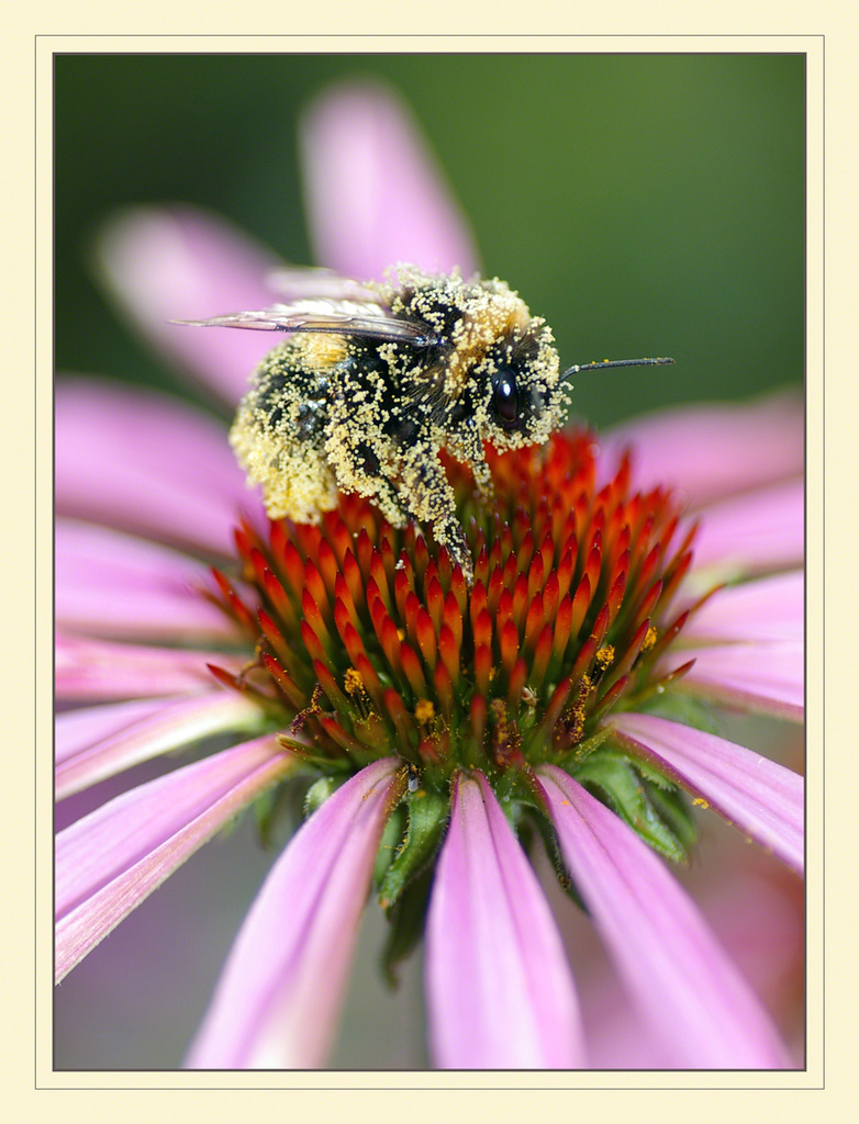 Bee on Echinacea by ivan